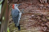 Red-bellied woodpecker on a palm