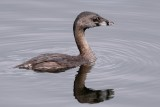 Pied-billed grebe and reflection