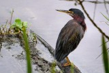 Green heron on a log