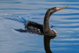 Anhinga cruising at the surface
