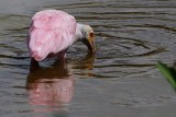 Roseate spoonbill spooning the water