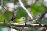 Ruby-throated hummingbird sitting in the forest