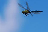 Green darner dragonfly in flight