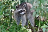 Raccoon looking around
