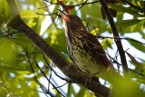 Brown thrasher backlit
