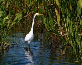 Great egret walking a stream through the reeds