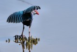 Grey-headed swamphen stretching