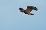 Red-shouldered hawk flying off to hunt
