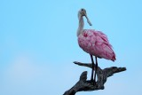 Roseate spoonbill in a tree