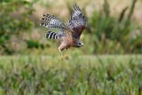 Red-shouldered hawk false attack
