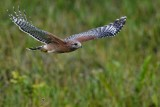 Red-shouldered hawk flying off