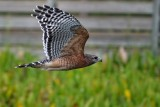 Red-shouldered hawk passing close by
