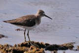 Solitary sandpiper on a mud island