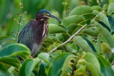 Green heron in a tree