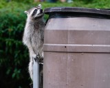 Raccoon checking out the garbage can
