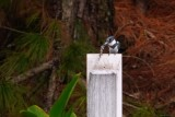 Belted kingfisher with a fish