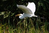 Great egret with softshell turtle meal