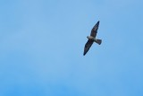 Peregrine falcon high over the pool