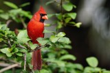 Male northern cardinal in the hibiscus