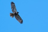 Red-tailed hawk circling the house