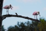 Two roseate spoonbills standing in a tree