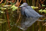 Little blue heron taking a cooling bath