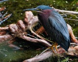 Green heron down on the water