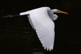 Great egret soaring past, low over the water