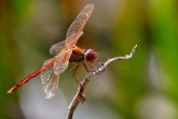 Red dragonfly, backlit