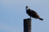 Osprey up high, looking at the camera