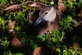 Black-bellied whistling duckling resting in the leaves