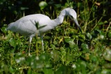 Juvenile little blue heron fishing