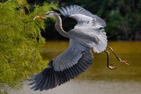 Great blue heron bringing sticks back to the nest