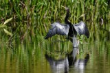Distant anhinga drying off