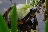 Moss-covered turtle trying to get dry