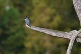 Female belted kingfisher on per perch