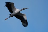 Wood stork traveling overhead