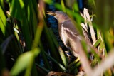 Least bittern deep in the reeds, as usual