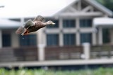 Mottled duck flying by