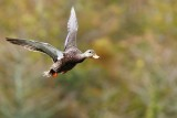 Mottled duck flying in