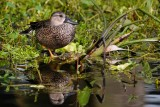 Female blue-winged teal