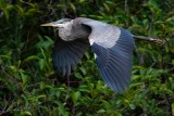 Great blue heron flying past