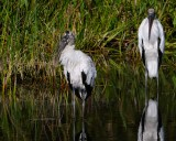 Wood storks in the water