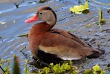 Black-bellied whistling duck bathing