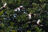 Black-bellied whistling ducks flying past