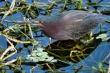 Green heron on a floating island of reeds