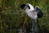 Wood stork drying off after a bath
