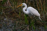 Great egret with a small fish, plus some greenery