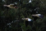 Noisy Egyptian geese in flight