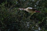 Egyptian goose flying past the trees